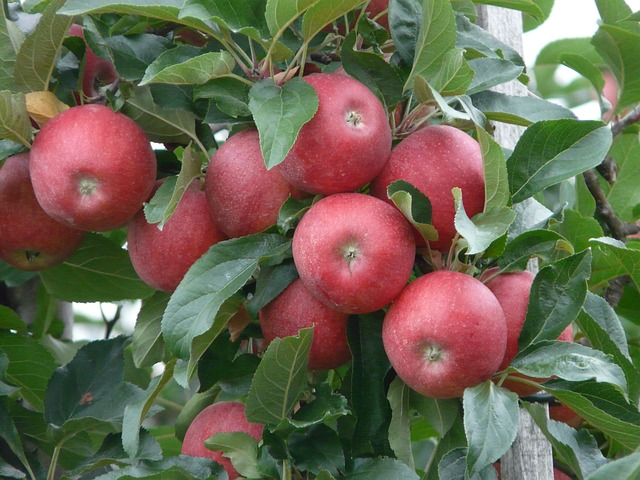 melo pianta mele